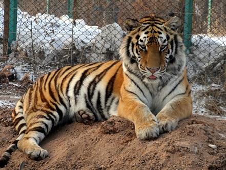Ein sibirischer Tiger 东北虎 im Tiger Park